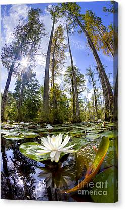 Lily Pad Flower In Cypress Swamp Forest Canvas Print by Dustin K Ryan