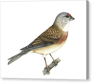 Linnet, Artwork Canvas Print by Lizzie Harper