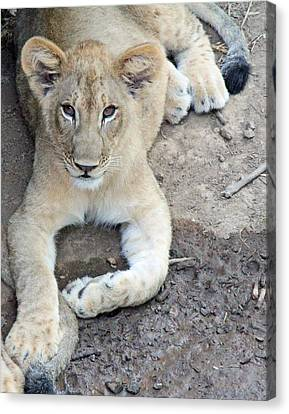 Lion Cub Canvas Print by Becky Lodes