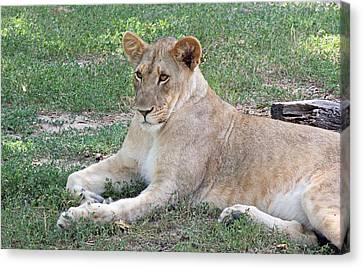 Lion Mama Canvas Print by Becky Lodes