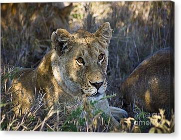 Lioness With Pride In Shade Canvas Print by Darcy Michaelchuk
