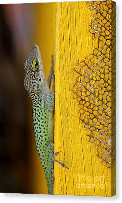 Lizard Canvas Print by Sophie Vigneault