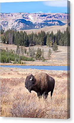 Lone Buffalo Canvas Print by Cindy Singleton