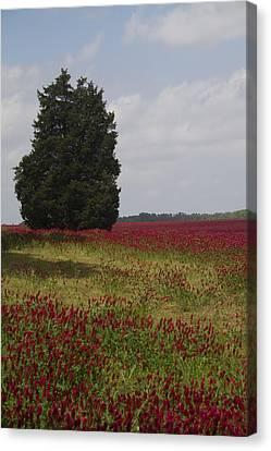 Lone Cedar And Crimson Clover Canvas Print by Kathy Clark