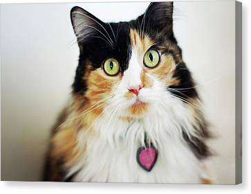 Long Haired Calico Cat Canvas Print by Genevieve Morrison