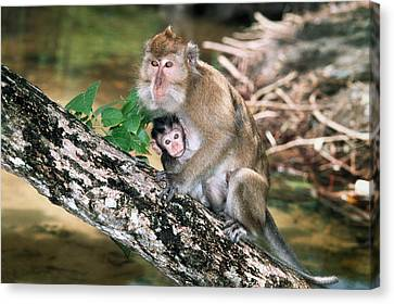 Long-tailed Macaque Mother And Baby Canvas Print by Georgette Douwma