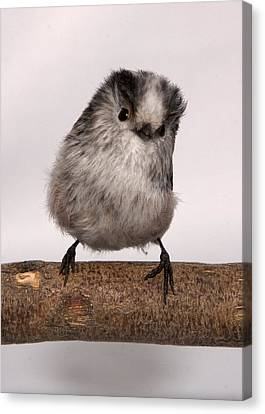 Long-tailed Tit Canvas Print by Les Stocker