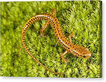 Longtail Salamander Eurycea Longicauda Canvas Print by Jack Goldfarb