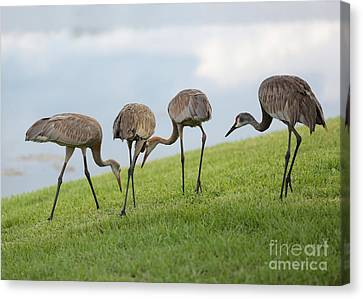 Look What I Found Canvas Print by Carol Groenen