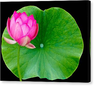 Lotus And Leaf Canvas Print by Jean Noren
