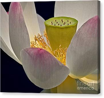 Lotus Blossom Canvas Print by Susan Candelario