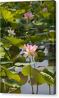 Lotus Standing Tall Canvas Print by Dina Calvarese