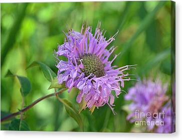 Lovely Lavender  Canvas Print by Whispering Feather Gallery