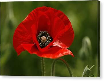 Lovely Oriental Red Poppy Wildflower Canvas Print by Kathy Clark
