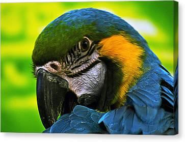 Macaw Canvas Print by Cheryl Cencich