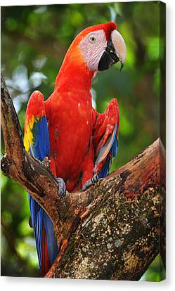 Macaw Of Copan Canvas Print by Paul Bratescu