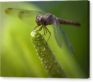 Macro Of A Dragonfly - Focus Stacked Image Canvas Print by Zoe Ferrie