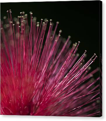 Macro Photograph Of A Calliandra Flower. Canvas Print by Zoe Ferrie