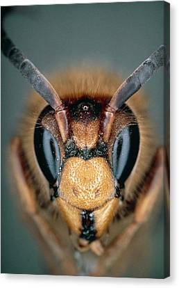 Macrophoto Of Head Of Hornet Vespa Crabro Canvas Print by Dr. Jeremy Burgess
