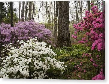 Magical Azaleas At Callaway Botanical Gardens Canvas Print by Kathy Clark