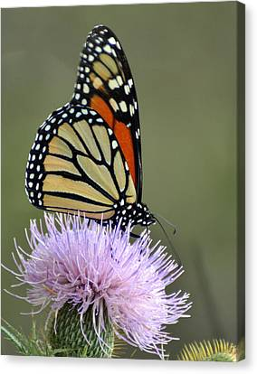Magnificient Monarch Canvas Print by Marty Koch
