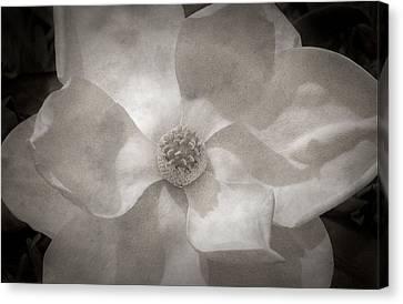 Magnolia 3 Canvas Print by Rich Franco