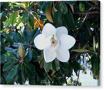 Magnolia Blossom Canvas Print by The Kepharts
