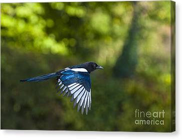 Magpie Canvas Print by Andrew  Michael