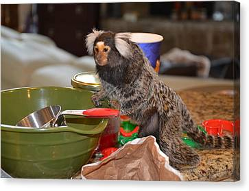 Making Cookies Chewy The Marmoset Canvas Print by Barry R Jones Jr