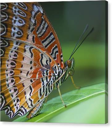 Malay Lacewing Butterfly Canvas Print by Zoe Ferrie