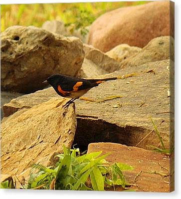 Male American Redstart On The Rocks Canvas Print by Roena King