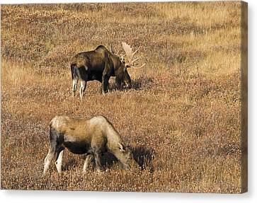 Male And Female Moose Alces Alces In Canvas Print by Philippe Widling