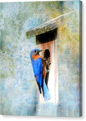 Male Eastern Bluebird At Nesting Box Canvas Print by Jai Johnson