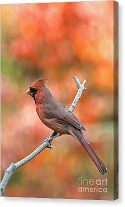 Male Northern Cardinal - D007810 Canvas Print by Daniel Dempster