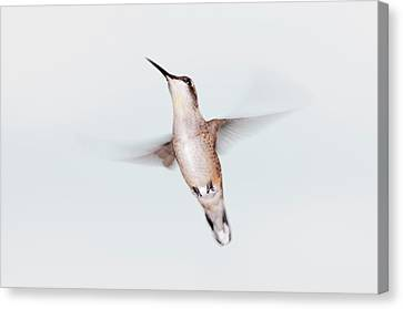Male Ruby-throated Hummingbird Canvas Print by Jim McKinley