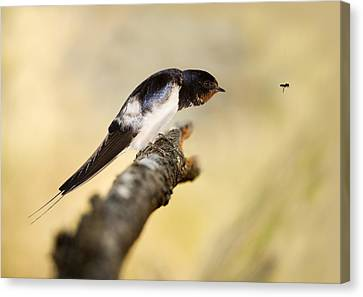 Male Swallow Canvas Print by Power And Syred