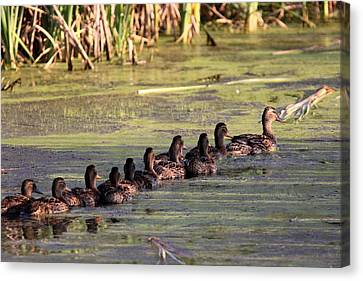 Mallard Ducks In A Row Canvas Print by Travis Truelove