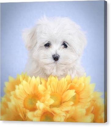 Maltese  Puppy Portrait Canvas Print by Waldek Dabrowski