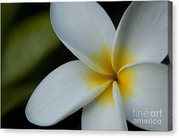 Mana I Ka Lani - Tropical Plumeria Hawaii Canvas Print by Sharon Mau