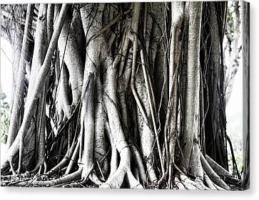 Mangrove Tentacles  Canvas Print by Douglas Barnard