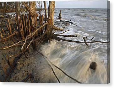 Mangrove Trees Protect The Coast Canvas Print by Tim Laman