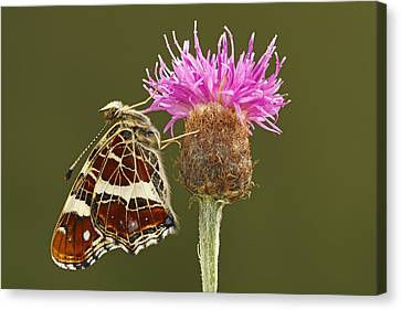 Map Butterfly Araschnia Levana Canvas Print by Silvia Reiche