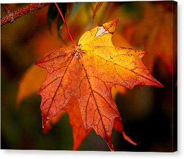 Maple Leaf In Autumn Canvas Print by Robin Regan