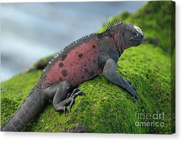 Marine Iguana On Rock Covered With Green Seaweed Canvas Print by Sami Sarkis