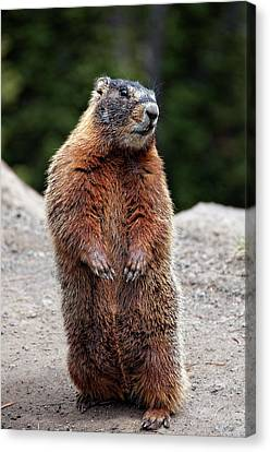 Marmot Rearing Up On Hind Legs In Yellowstone Canvas Print by Trina Dopp Photography