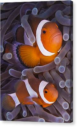 Maroon Clown Fish (premnas Biaculeatus) Amongst Sea Anemone Tentacles, Dumaguete, Negros Island, Philippines Canvas Print by Oxford Scientific
