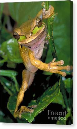 Masked Treefrog Canvas Print by Gregory G. Dimijian
