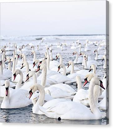 Massive Amount Of Swans In Winter Canvas Print by Mait Juriado photo