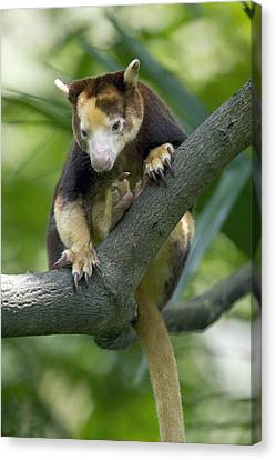 Matschies Tree Kangaroo Canvas Print by Cyril Ruoso