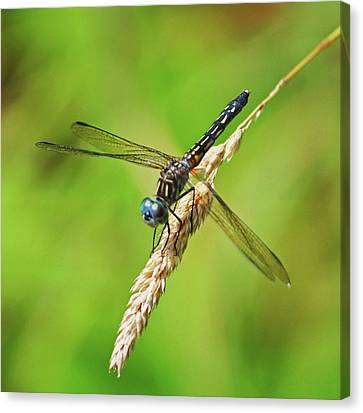 Canvas Print featuring the photograph Meadowhawk by Rodney Campbell
